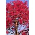 """Brachychiton acerifolia  """"Illawarra Flame tree"""""""