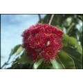 """Eucalyptus (Corymbia) ptychocarpa """"Swamp Bloodwood"""""""