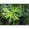 "Podocarpus macrophylla Maki  ""Buddhist pine"""
