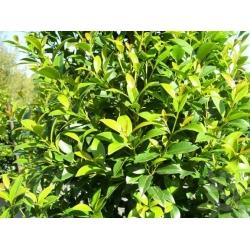 "Syzygium australe  ""Hinterland gold"""