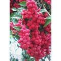 """Syzygium luehmanni  """"Cherry alder"""""""