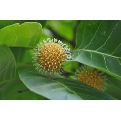 "Nauclea orientalis   ""Leichhardt tree"""