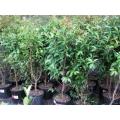 Syzygium Aussie Gem