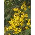 "Peltophrum ptericarpum  ""Yellow Flame Tree"""