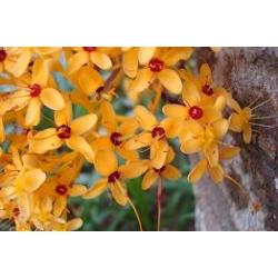 """Saraca thaipingensis """"Yellow saraca"""""""