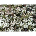 Syzygium branderhorstii