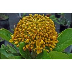 "Deplanchea tetraphylla  ""Golden bouquet"""