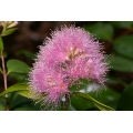 Syzygium cascade