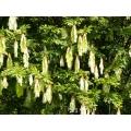 "Maniltoa brownioides   ""Handkerchief tree"""