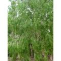 "Melaleuca leucadendron Broad Leaf   ""Paper bark"""