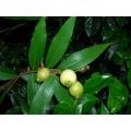 """Syzygium jambos  """"Rose apple"""""""