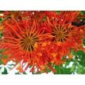 "Stenocarpus sinatus  ""Firewheel tree"""