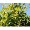 "Syzygium australe ""Aussie southern"""