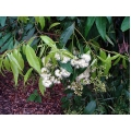 """Syzygium luehmanni """"Rocky River""""   """"Weeping lily pily"""""""