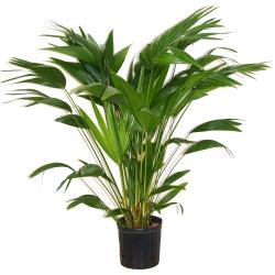 """Livistona chinensis  """"Chinese fan palm"""""""