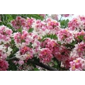 "Cassia javanica  ""Pink cassia"""