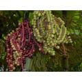 """Pinanga kuhlii  """"Ivory cane"""""""