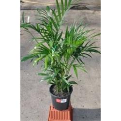 """Chamaedorea atrovirens  """"Cascade palm"""""""