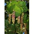 """Cocoloba uvifera  """"Sea Grape"""""""