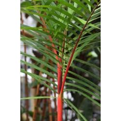 "Cyrtostachys renda ""Lipstick palm or Sealing wax"""