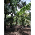 "Dictyospermum album  ""Princess or Hurricane palm"""