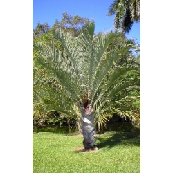 """Dypsis decaryi  """"Triangle Palm"""""""