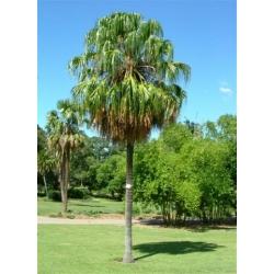 "Livistona decipiens   ""Weeping Cabbage Palm"""
