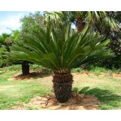 """Cycas revoluta    """"Sago palm"""""""