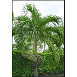 """Veitchia merrillii """"Manila Palm"""""""