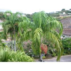 """Carpentaria acuminata   """"Carpentaria palm"""""""