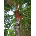 "Dypsis leptocheilos    ""Red Neck Palm"""