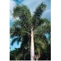 "Wodyetia bifurcata  ""Foxtail palm"""