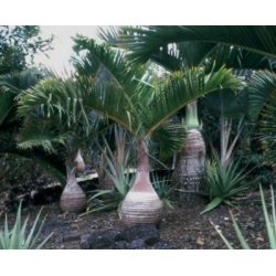 """Hyophorbe lagenincaulis          """"Bottle palm"""""""