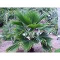 "Pritchardia pacifica   ""Fiji Fan Palm"""