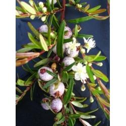 """Austromyrtus dulcis x tenuifolia """"Copper Tops"""""""