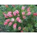 Callistemon Pink Alma