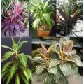 Cordyline fruticosa  assorted colours