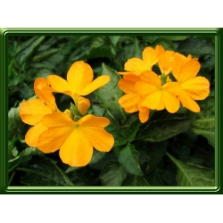 Crossandra infundibuliformis yellow