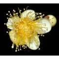 "Xanthostemon verticulatus "" Little penda or Daintree penda"""