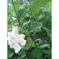 Gardenia Aimee Yoshiba