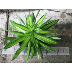 "Graptophyllum pictum aurea variegated  ""Green & gold"""