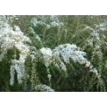 "Leptospermum flavescens ""Cardwell"""