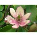 """Michelia figo  """"Port wine magnolia"""""""