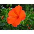 Hibiscus Cuban Orange