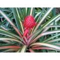 "Ananas comosus ""Variegated Pink Pineapple"""