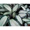 Calathea argentea