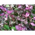 Hibiscus roseflake