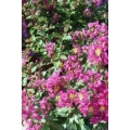 """Lagerstroemia indica """"Little Chief"""""""