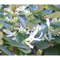 Loropetalum chinensis  Rubrum