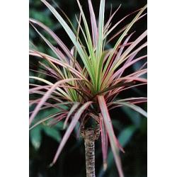 Draceana marginata tricolor